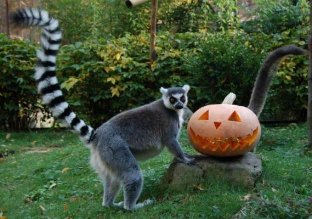 lemur-nap-es-halloween-est-70962-1-l