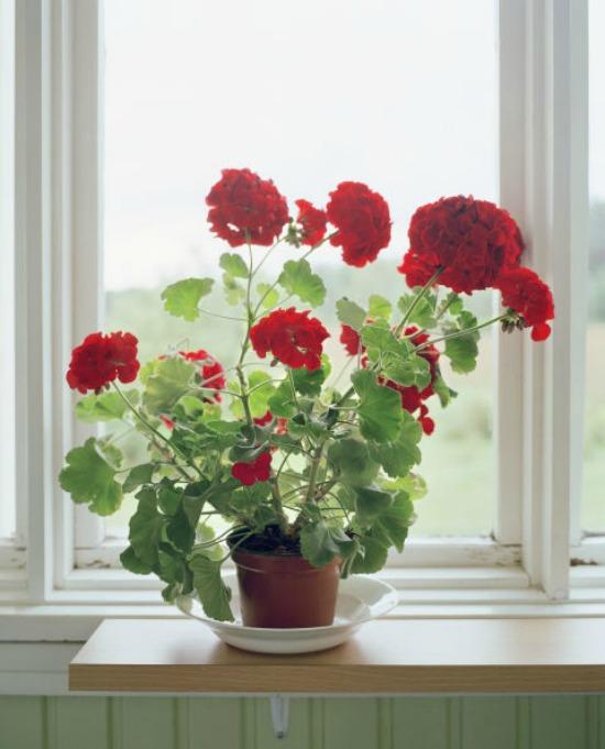 1479765287-hbu-stress-plants-geraniums