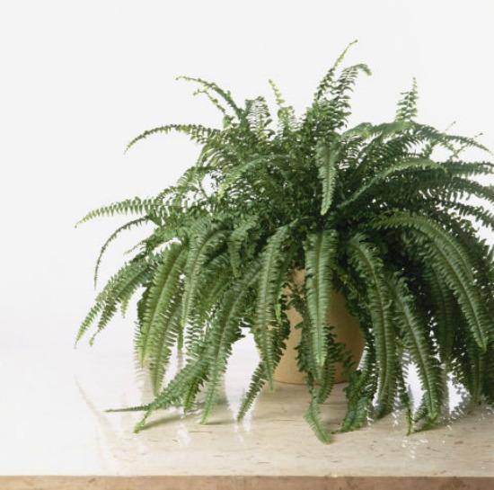 1479765292-hbu-stress-plants-boston-fern