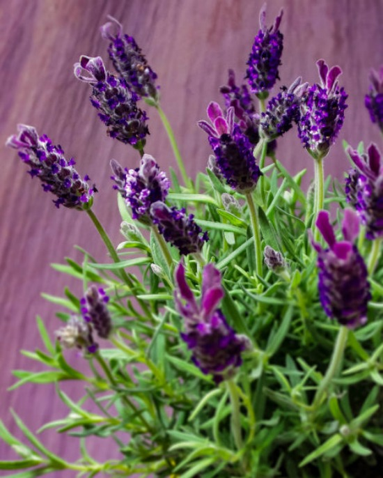 1479765296-hbu-stress-plants-lavender-plant