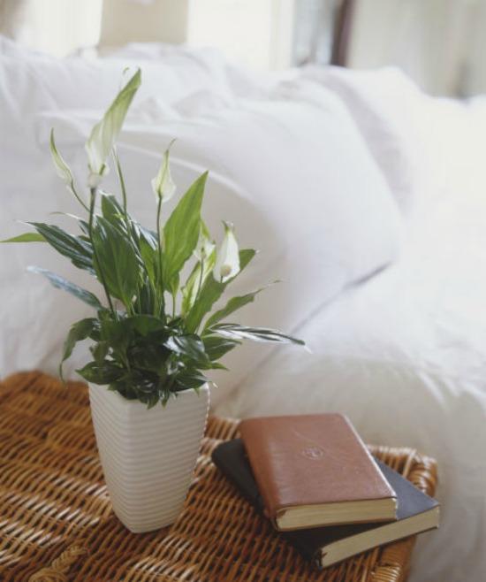1479765311-hbu-stress-plants-peace-lilly