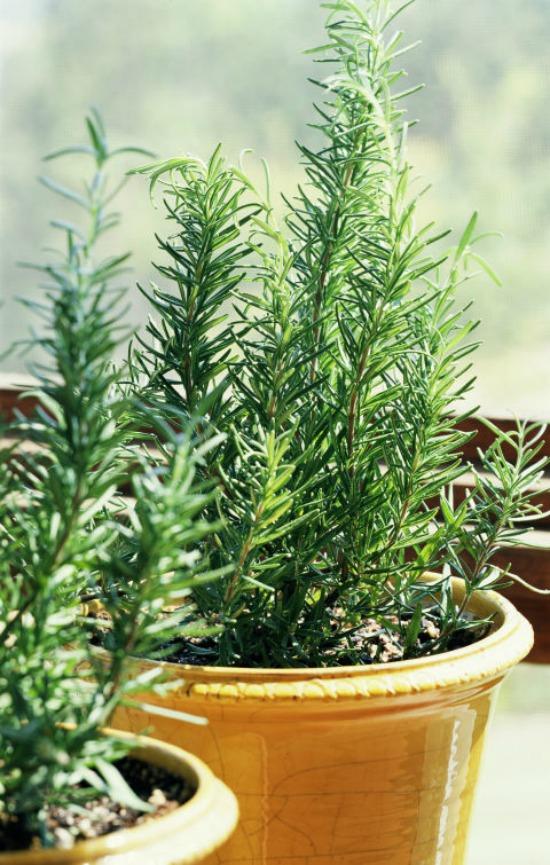 1479765315-hbu-stress-plants-rosemary