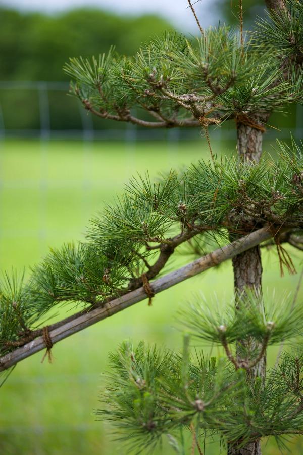 cloud-prune-trees-4-gardenista