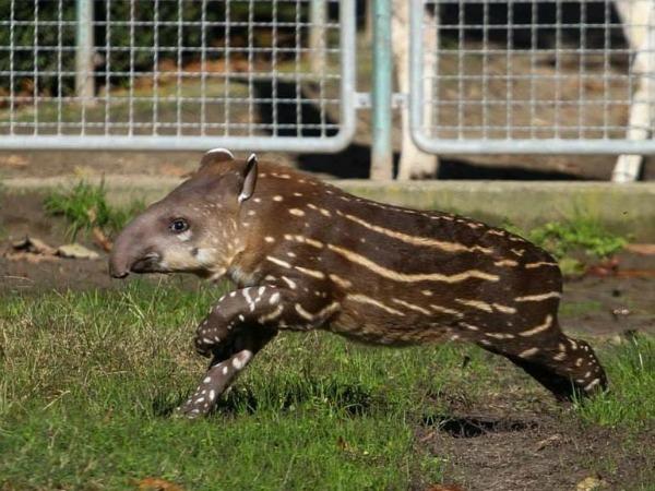 debrecen-tapír