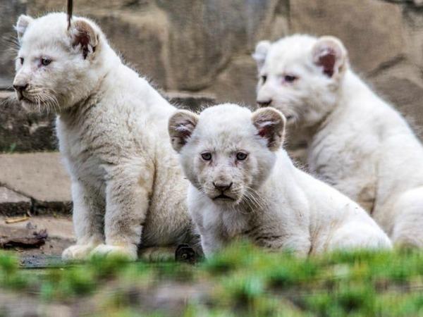 nyíregyháza-fehér-oroszlán